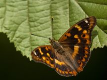Weerschijnvlinder de Kleine, Lesser Purple Emperor foto de stock