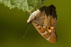 Weerschijnvlinder de Kleine, Lesser Purple Emperor fotos de stock royalty free