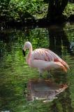 Weerspiegelde flamingo Royalty-vrije Stock Fotografie