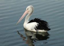 Weerspiegelde pelikaan royalty-vrije stock afbeelding