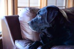 Weerspiegelend Labrador (laboratorium) stock afbeeldingen