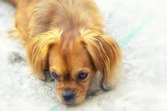 Weerspiegelende hond Royalty-vrije Stock Foto