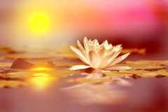 Weerspiegelende lotusbloembloem Royalty-vrije Stock Foto