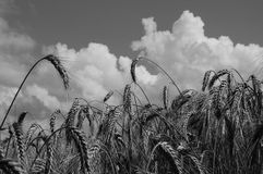 Wheat and clouds Royalty Free Stock Photos