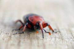 Weevi rouge de paume Photographie stock libre de droits