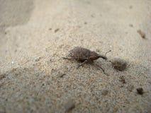 weevil στοκ εικόνες