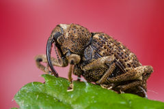 A weevil Stock Photos