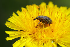 Weevil Royalty Free Stock Images