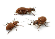 Weevil Royalty Free Stock Photography