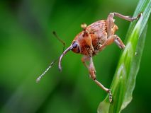 Weevil Royalty Free Stock Photos