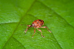 Weevil. A tiny weevil on a green leaf stock photos