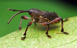 Weevil. This photo was taken at Mahua Waterfall Park, Sabah Royalty Free Stock Images