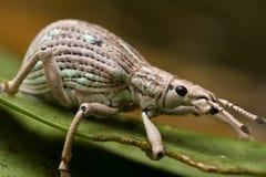 Weevil Imagens de Stock