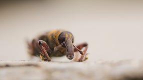 weevil Fotografia de Stock Royalty Free