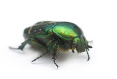 Weevil beetle Royalty Free Stock Photos