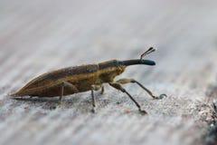 Weevil beetle macro little bug Stock Photo