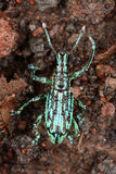 Weevil beetle on the slope of the volcano Reventador. Royalty Free Stock Photo