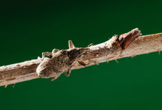 Weevil beetle on twig Stock Photography