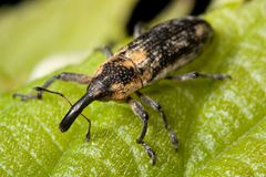Weevil, Bug, Insect Royalty Free Stock Image