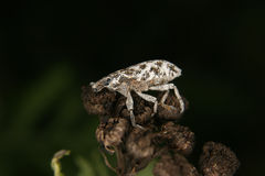 Weevil (Curculio) Royalty Free Stock Image