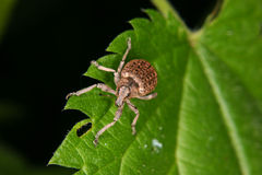 Free Weevil (Curculio) Stock Photo - 19633520
