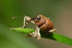 Weevil do carvalho Imagem de Stock Royalty Free