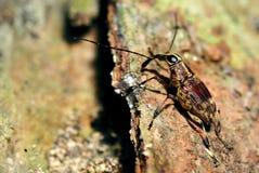 Weevil do fungo fotografia de stock