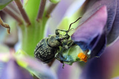 Weevil is eating petal of blue flower lupine Stock Images