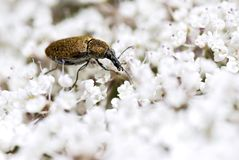 Weevil on flower Stock Photography