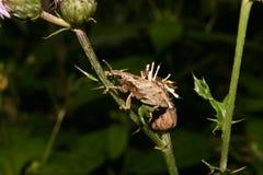 Weevil (glandium do gorgulho) Imagens de Stock