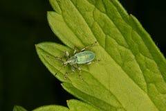 Weevil (gorgulho) Fotografia de Stock Royalty Free
