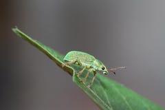 Weevil Stock Photos