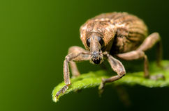 Weevil on a Green Leaf. Weevil Beetle perched on a green leaf with a green background Royalty Free Stock Images