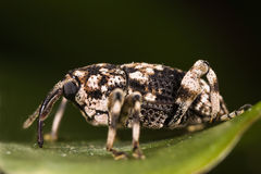 Weevil on green leaf side view Stock Images