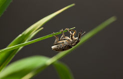 Weevil hanging on blade top Royalty Free Stock Images