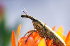 Weevil insect Stock Images