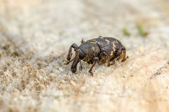 Weevil. The large pine weevil (Hylobius abietis). Close up royalty free stock photos