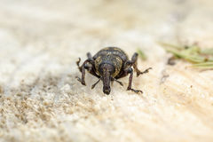 Weevil Stock Photography
