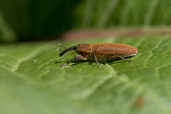 Weevil on a leave Stock Photos