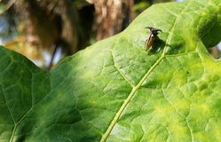 Weevil on the leave. A weevil on the leave at evining stock photo