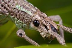 A weevil macro Stock Photos