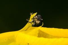 Weevil (Mononychus punctumalbum) Royalty Free Stock Photography
