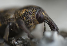 Weevil in nature Royalty Free Stock Image