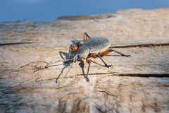 Weevil Otiorhynchus cardiniger. Otiorhynchus is a large genus of weevils in the family Curculionidae Royalty Free Stock Photography