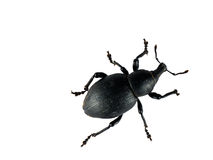 Weevil over white - macro Stock Photo