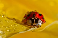 Weevil on a petal Royalty Free Stock Photo