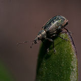 Weevil Phyllobius maculicornis Royalty Free Stock Photography