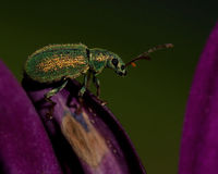 Weevil Phyllobius maculicornis Royalty Free Stock Images
