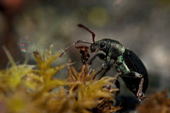Weevil Phyllobius viridicollisapp Royalty Free Stock Photography