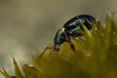 Weevil Phyllobius viridicollisapp Stock Photos